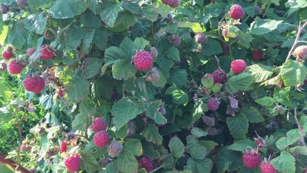 It's first come, first served for raspberries at Matt Compton's farm market this year.