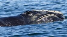 North Atlantic Right whale wwf