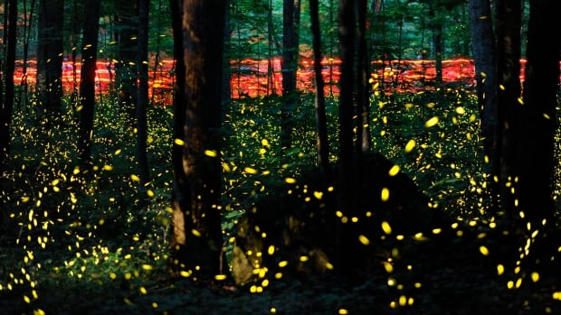 Fireflies are pictured in the Great Smoky Mountains National Park's Elkmont Campground near Gatlinburg, Tenn. This photograph was made by 'stacking' 123 long exposures shot over a 1.5-hour period.