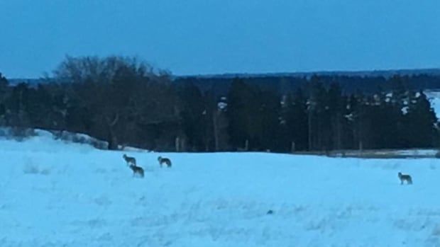 This photo was taken Feb. 25, 2017 in Dunstaffnage, in a field nearby to where the 17-year-old was approached by a pack in July.