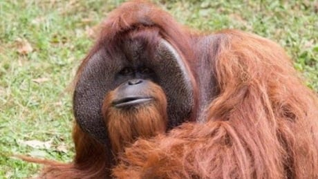 Chantek the orangutan Atlanta Zoo