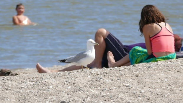 Gulls and terns are key contributors to the E. coli spikes at many Lake Winnipeg beaches, including at Gimli Beach, according to the province.