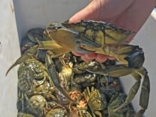 When a male mangrove crab wins a fight, he celebrates with a unique dance, according to a new study published in the journal Ethology.