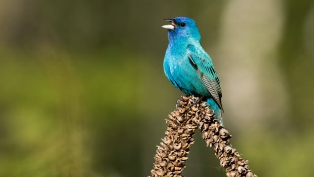 Sightings of birds like this one, a male Indigo Bunting spotted in the Toronto area, can be logged in the eBird app so scientists can follow bird activity in real time.