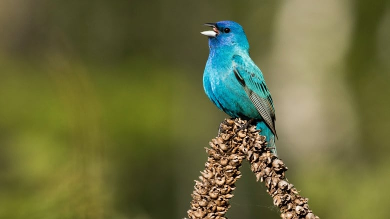 Mapping the world's birds, one tap at a time | CBC News