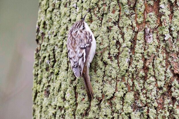 Brown Creeper bird