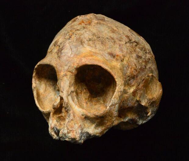 Alesi ape skull