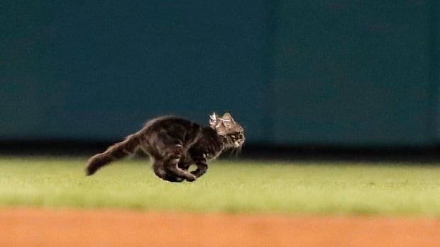 A cat runs across the field during the sixth inning of a baseball game between the St. Louis Cardinals and the Kansas City Royals.