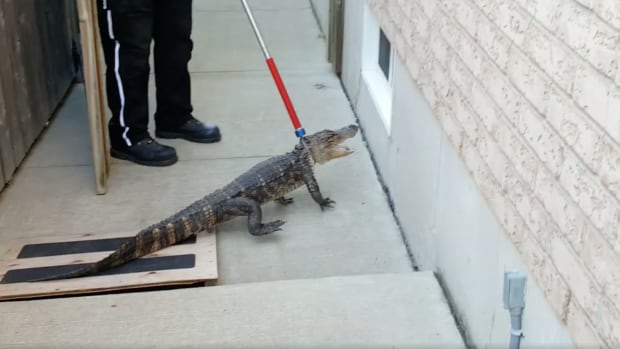 Walter Ertsinian's daughter found this alligator in their yard on Tuesday. It is now at an animal rescue facility.
