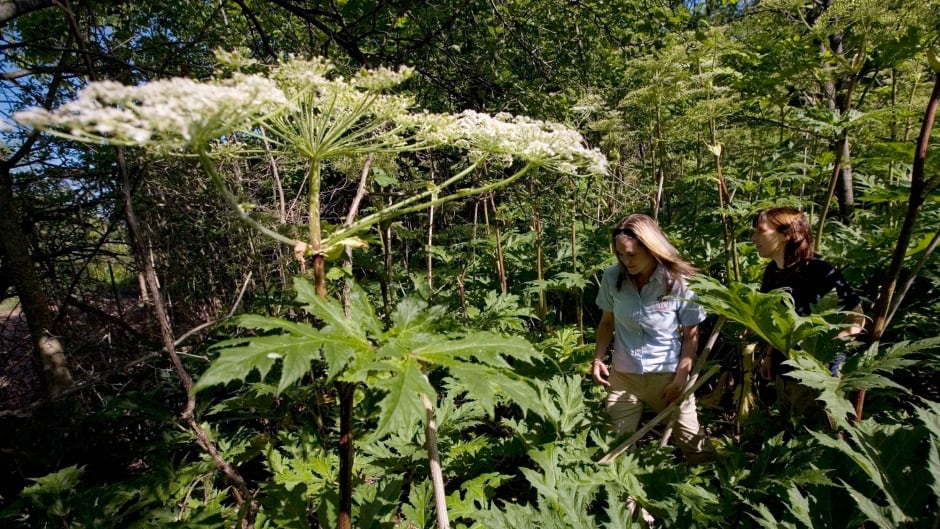 Biologist Dan Kraus says the invasive plant can grow up to four metres tall and cause severe burns.