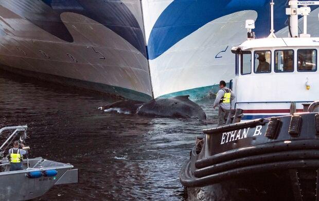 Cruise Ship Dead Whale