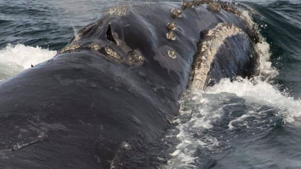 A North Pacific right whale swims in the Bering Sea west of Bristol Bay Sunday, Aug. 6. One of the whales sampled had been seen eight times before; the last time was a decade ago.