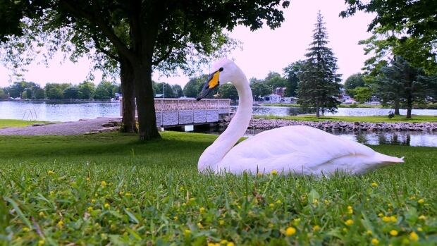 Smiths Falls began searching for a solution to a Canada goose over-population problem at one of its parks about a year ago, before deciding to purchase two swans.