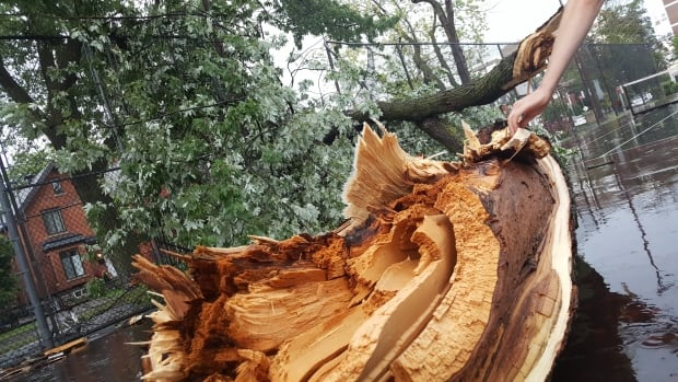 This tree split during the storm on Saturday, August 12.
