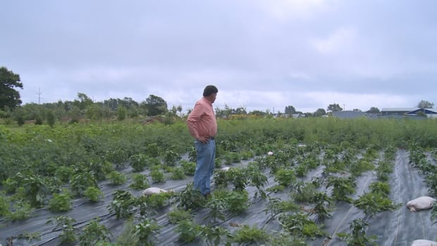 General manager of the Farm Centre Association Phil Ferraro looks over the Legacy Garden. He says hundred of green peppers were stolen from the crop Monday night.