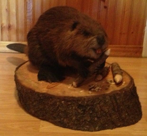 Stuffed and mounted beaver
