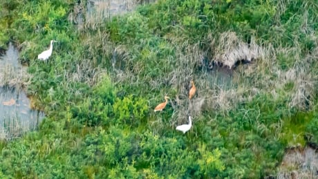 Record number of whooping crane chicks born this year in Wood Buffalo National Park