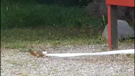 Outhouse outlaw: squirrel turns toilet-paper bandit in mountain park