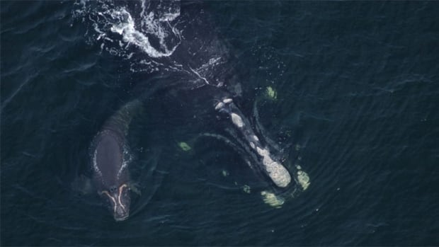 The dead whale has been identified as a reproductive female named Couplet, pictured here in 2003 with one of her calves.