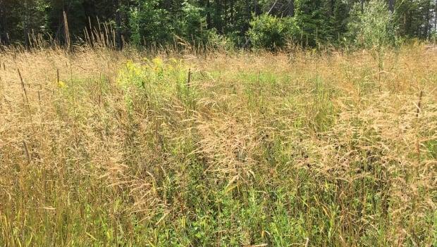 Riverview, tall grass, council