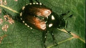 Invasive Japanese beetle spotted in False Creek