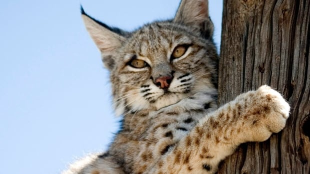 A bobcat was mistaken for a cougar as reports came into Calgary police on Thursday of a big cat being spotted near the Willow Park Golf and Country Club. This is a file photo of a bobcat in California.