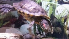 Fluffy the turtle