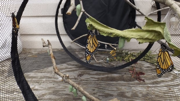 John Woodcock has been hatching monarch butterflies in a mesh laundry hamper at his home in Thunder Bay.   He planted more than 150 milkweed plants at the McKellar Island Bird Observatory this year, in another effort to boost the population of the insects.