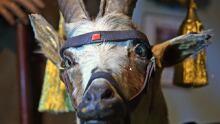 Sgt. Bill the goat