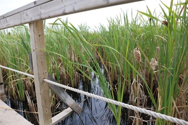 Pic 2 Syncrude wetland