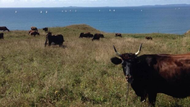 The cows that produce milk for the Pied-De-Vent cheese factory are transported across the Magdalen Islands during the summer to feed on grass.