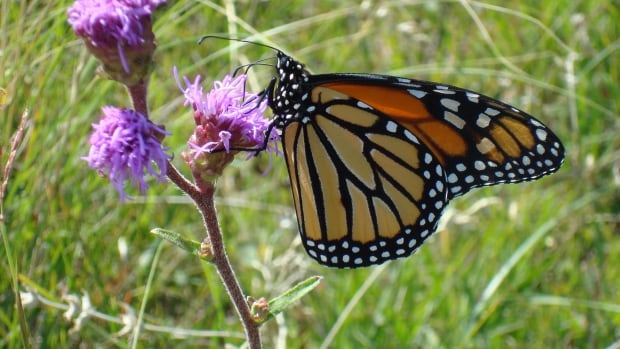 The monarch population has declined as much as 90 per cent in North America in the last 20 years, according to Nature Saskatchewan.