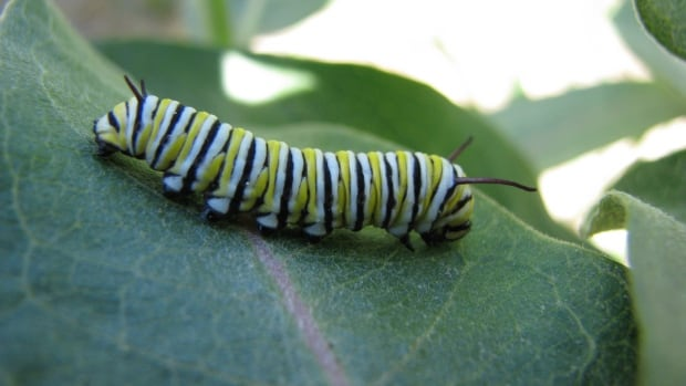 Monarch reproduction is dependent on milkweed, which is often killed by herbicide.