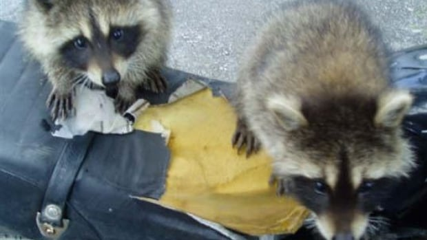 The province of New Brunswick is conducting its first ever raccoon population density study. A better understanding of how many of the animals are in the province will allow scientists to better estimate how many bait vaccines need to be air dropped each year.