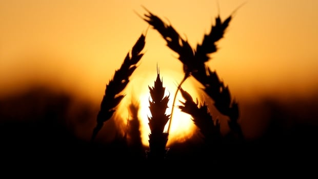 Ears of wheat are seen during sunset in a field of the Solgonskoye farming company in Talniki, Russia, August 28, 2016. Agriculture has depleted the amount of carbon stored in soil by more than a billion tonnes, a new study finds.