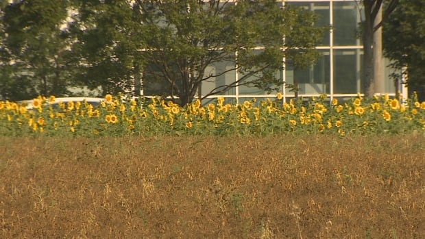 One of the organic fields on Belvedere Avenue is filled with sunflowers.