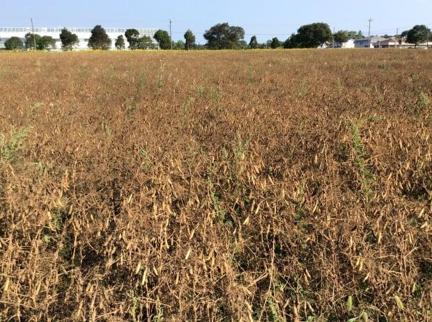 Organic field peas Charlottetown