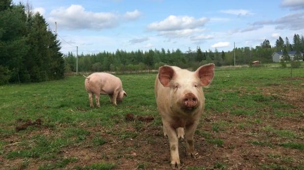 Becaguimec-Farm-pigs