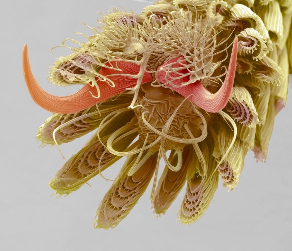 Mosquito Foot, Steve Gschmeissner