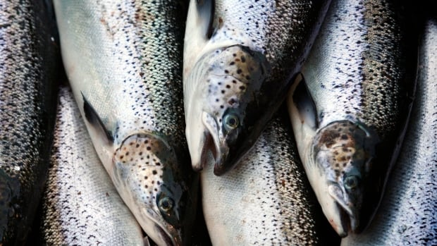 The Atlantic Salmon Watch program has received about 40 reports of farmed Atlantic salmon since the nets as a Cooke Aquaculture farm in the San Juan Islands collapsed on August 19th.