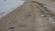 Dead snow geese cambridge bay