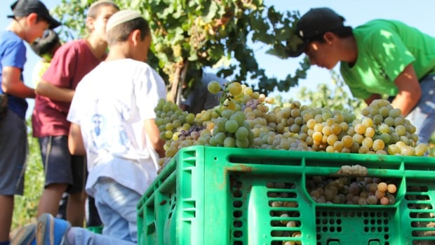 Israeli boys harvest grapes in a vineyard owned by Shiloh Wineries in the Israeli-occupied West Bank.