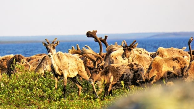 Regulators in the Northwest Territories need to have clear rules about how and when to apply the precautionary principle in making environmental decisions about projects that could threaten species like the Bathurst caribou, shown above.