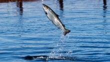 Salmon Populations 20170601