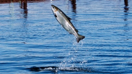 Salmon returning to Fundy National Park