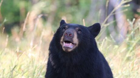 Black bear in Grand Forks