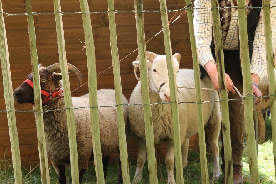 Sheep tied up by Tom.JPG
