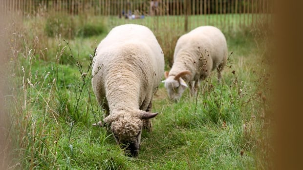 Sheep have been brought in to help trim Green Park, just opposite Buckingham Palace. Joanne Seiff says Manitoba Hydro should take the same approach to mowing grass under and around its power lines.