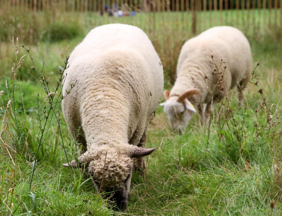 Two sheep.JPG