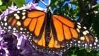 Where Are The Monarchs?